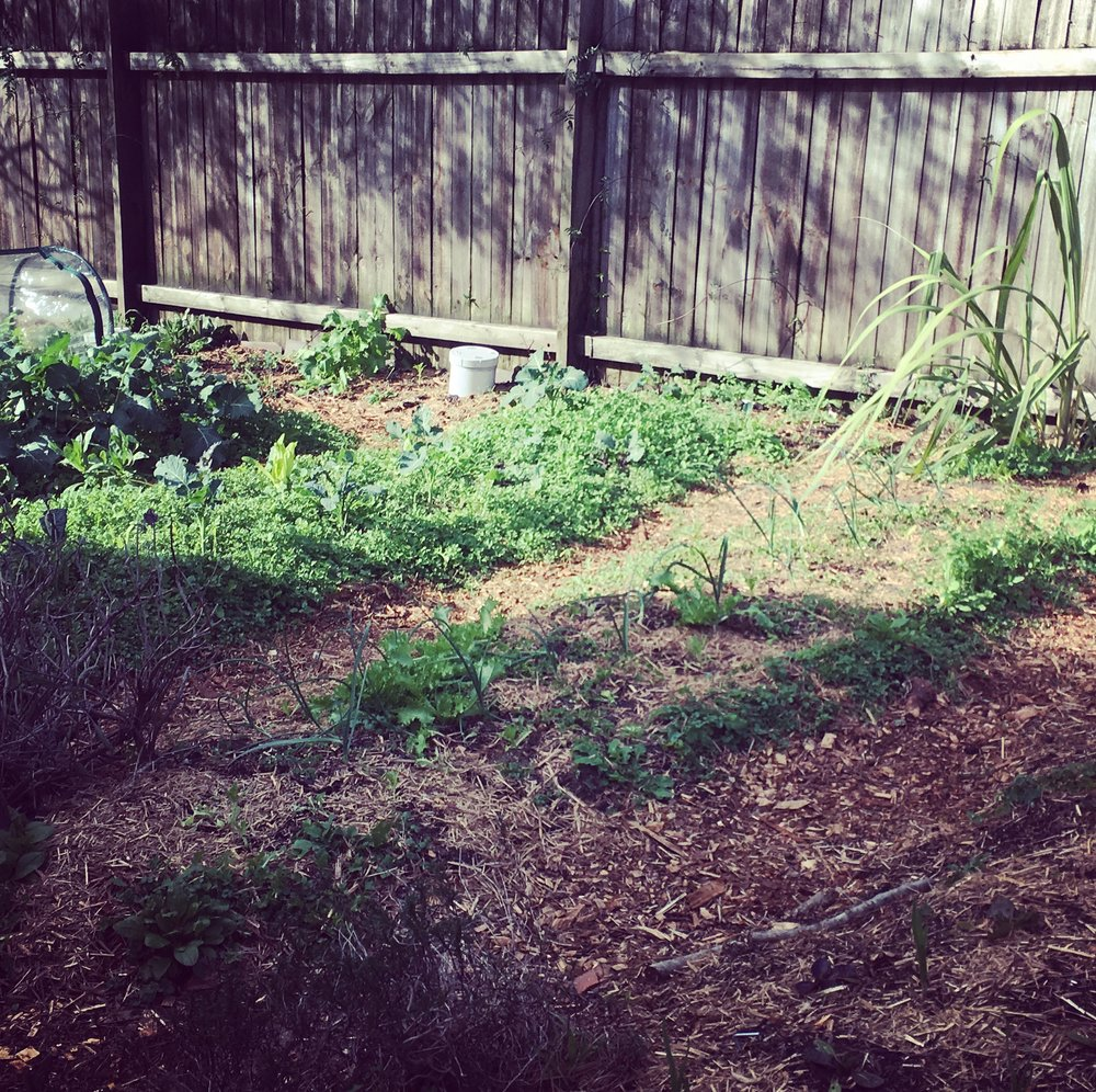 Our chickweed/kale bed (back)