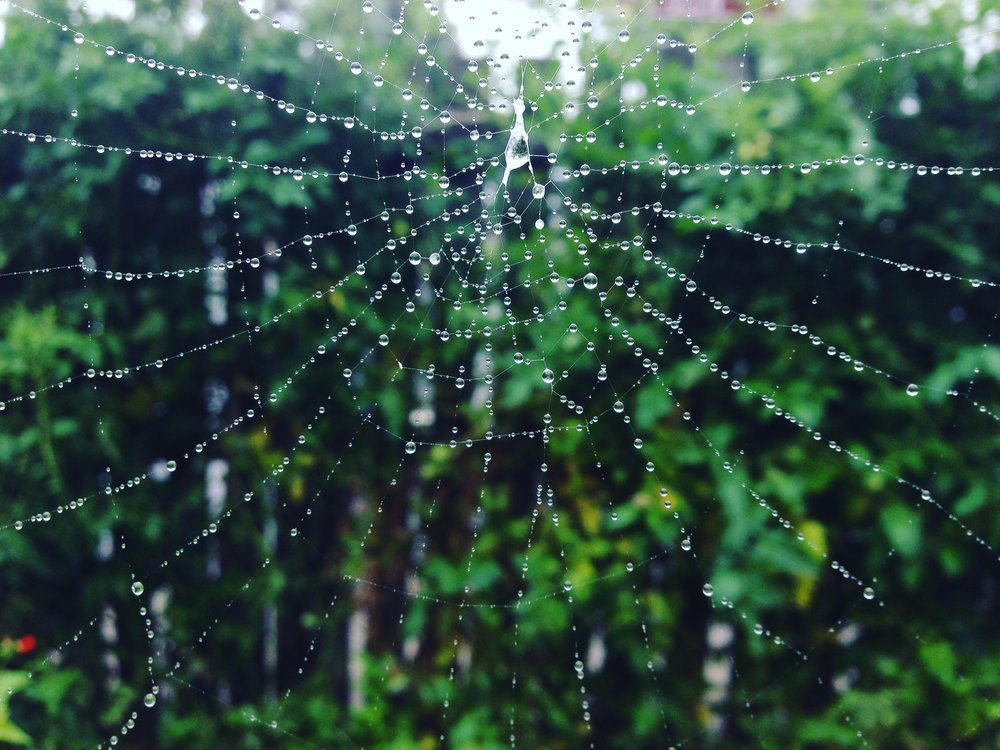 A rain-soaked spider web in Lyttleton Gardens.