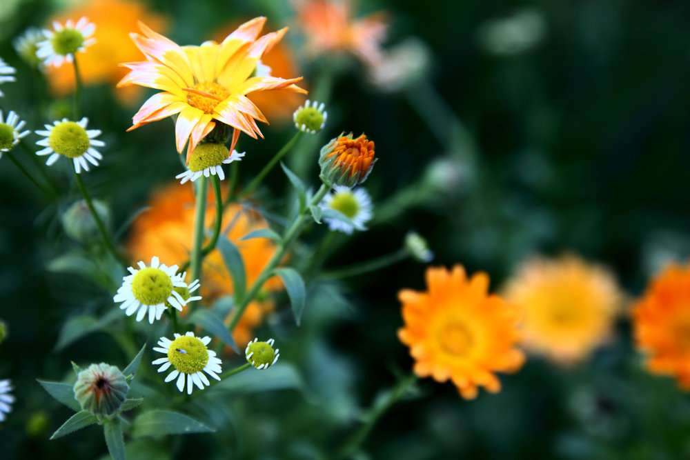 Calendula and german chamomile flowers.