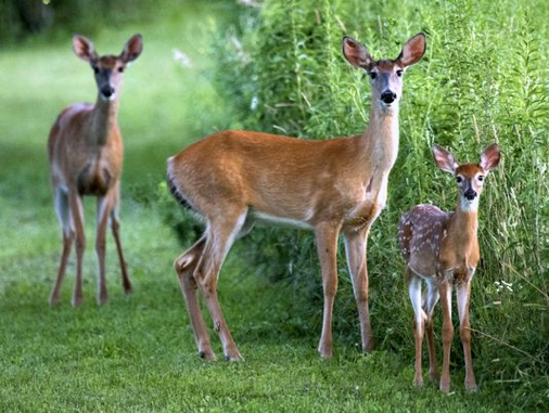 Deer cause thousands of dollars damage to Utah gardens during the winter, protect yours with Platinum Landscape's deer protection service