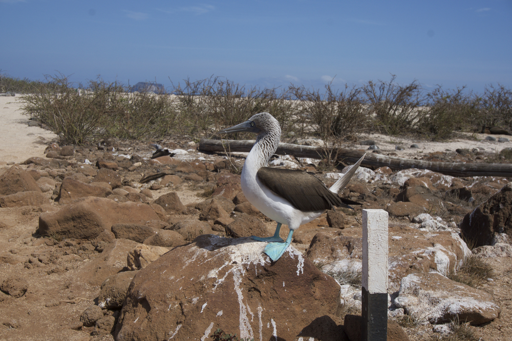 Blue-footed booby!