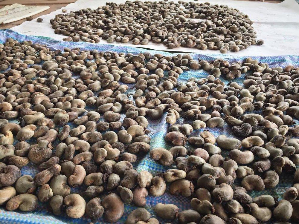 Plenty of organic cashew in Sahainan.