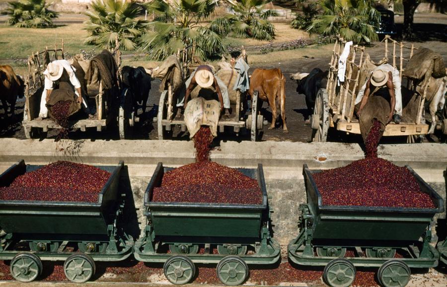 yeiryg :      natgeofound :     Men deliver ripe coffee berries to El Molino mill for processing in El Salvador, November 1944.  Photograph by Luis Marden, National Geographic      Semillas de mi gente