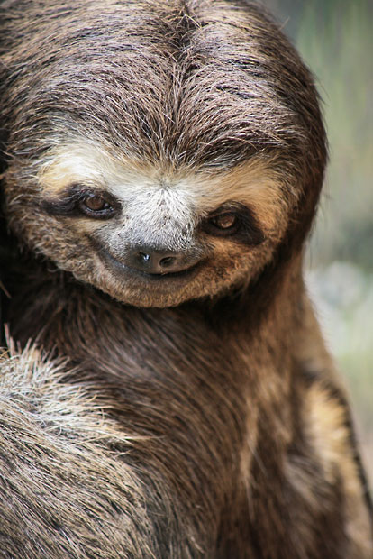 theanimalblog :      A three-toed sloth appears to be smiling at the Gnomes Ecological Ranch Sanctuary in Sao Paulo, Brazil.   Picture: Vanessa Maia Cassettari / Barcroft Media      Yessss