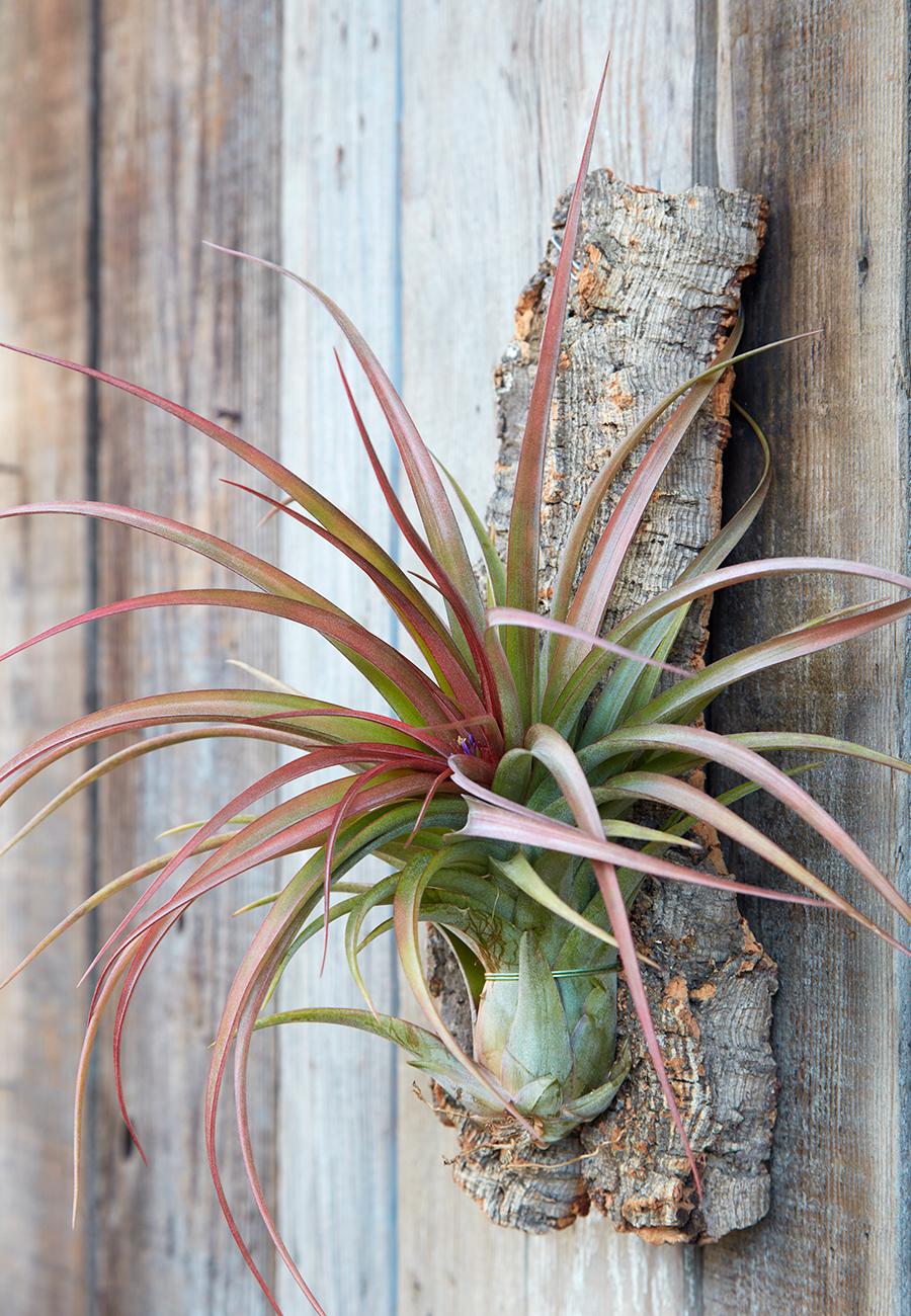 Flora-Grubb-Gardens-Colorful-Tillandsia.jpg