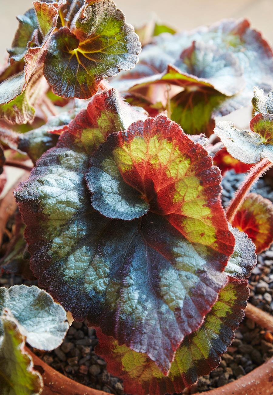 Flora-Grubb-Gardens-Mister-Juis-Begonia.jpg