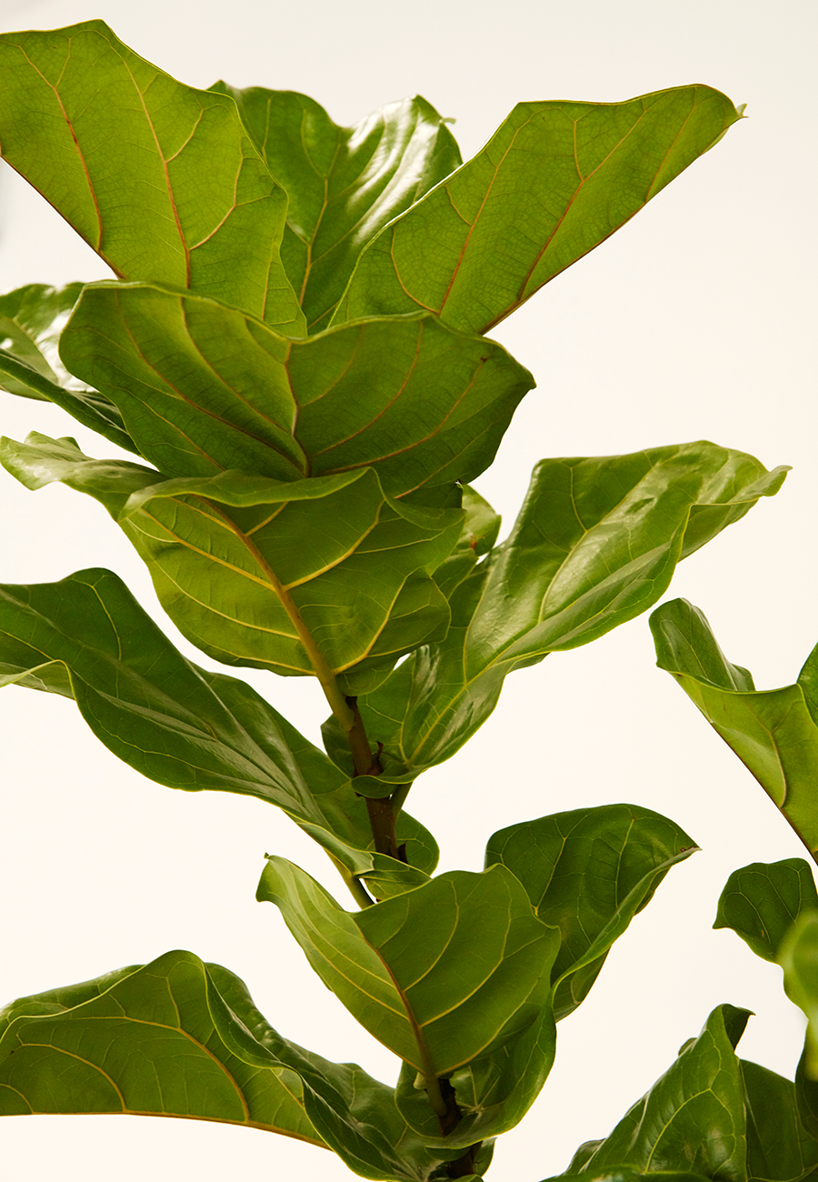 Flora Grubb Gardens Caring for a Fiddle Leaf Fig Ficus Lyrata.png