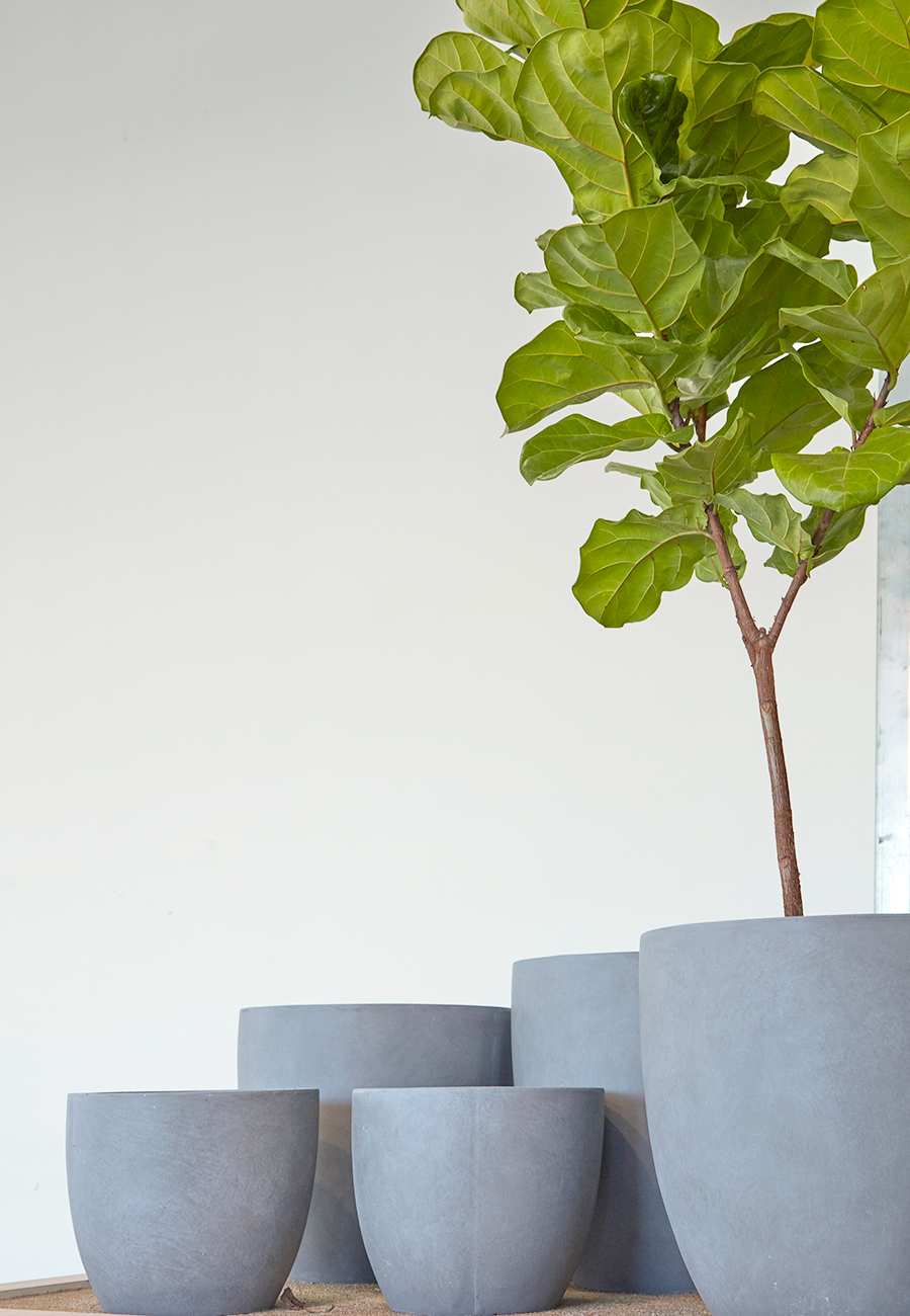 Flora Grubb Gardens Ficus Lyrata Fiddle-Leaf Fig in Grey Modern Planter.png