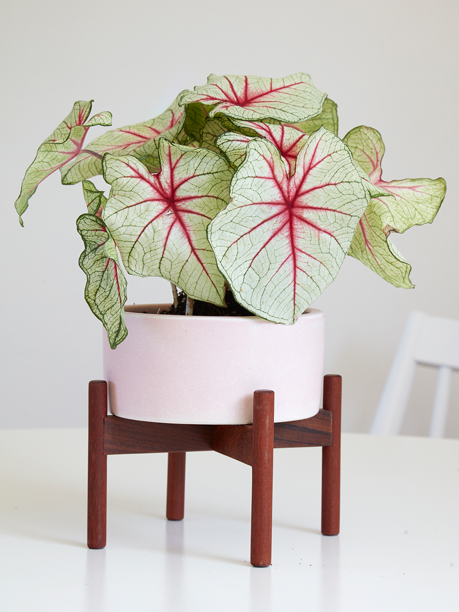 Flora Grubb Gardens Case Study Planter in Pink Houseplant.png