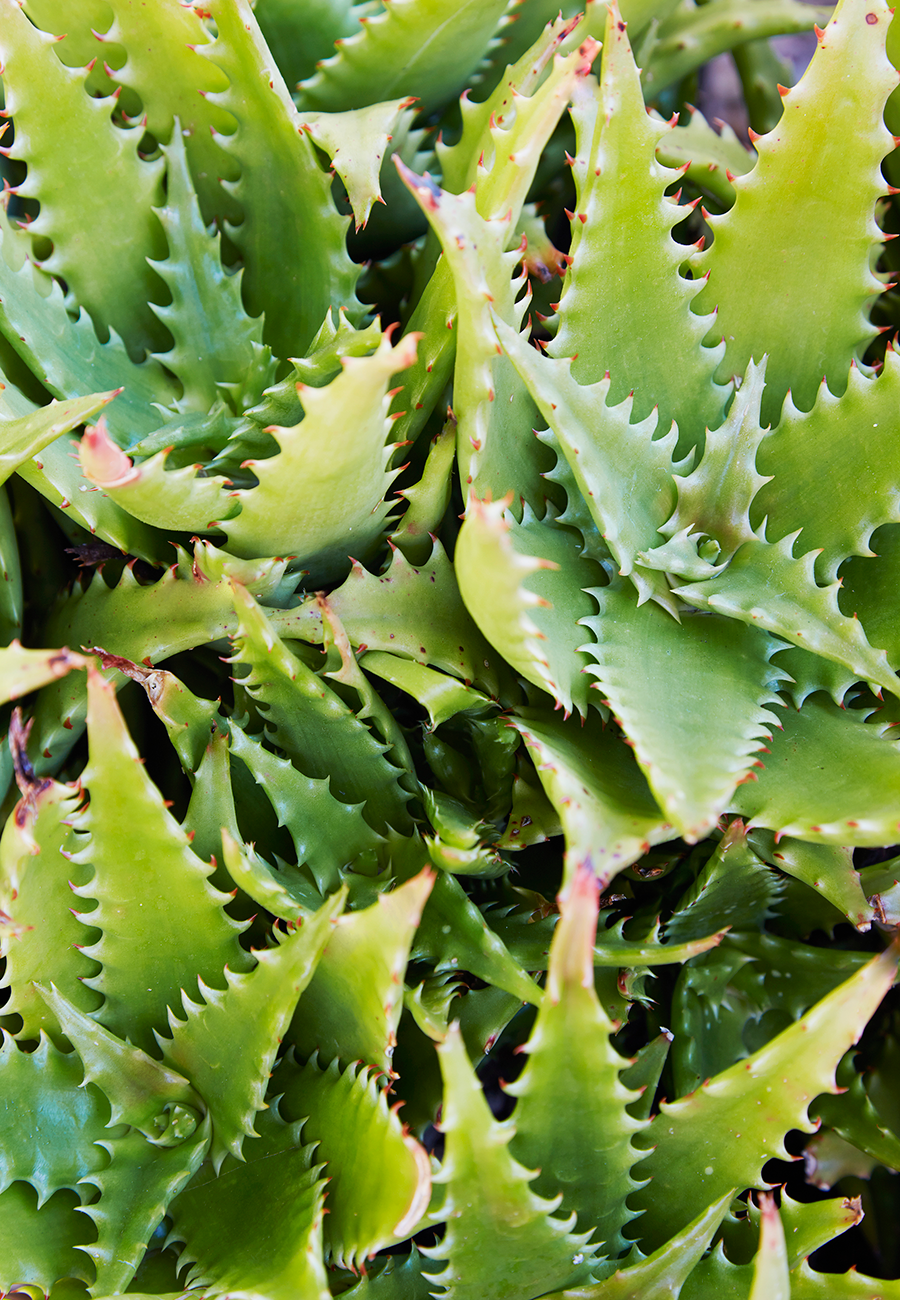 Flora Grubb Gardens Aloe Dorotheae.png