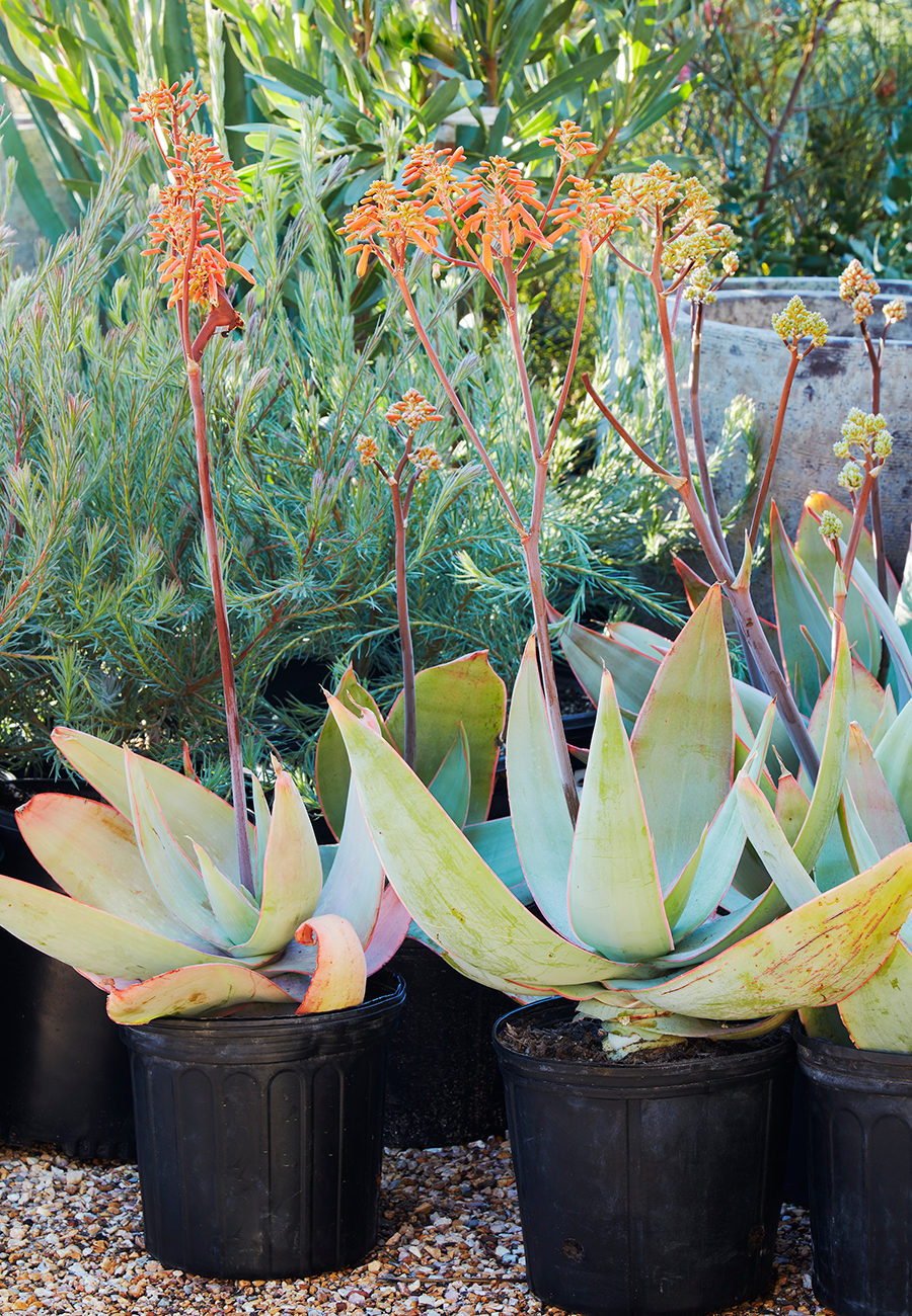 Flora Grubb Gardens Aloe Striata.png