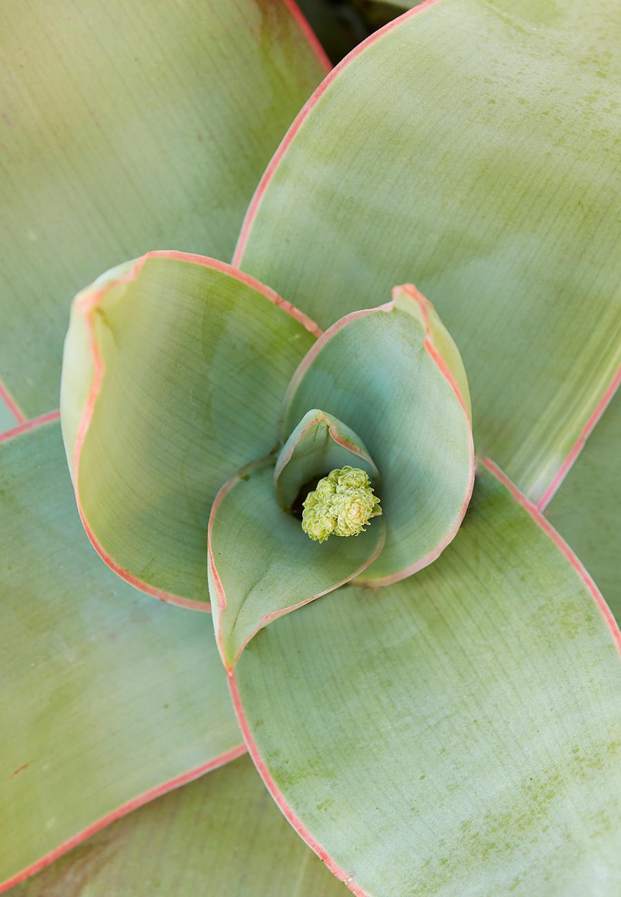 Flora Grubb Gardens Aloe Striata 2.png