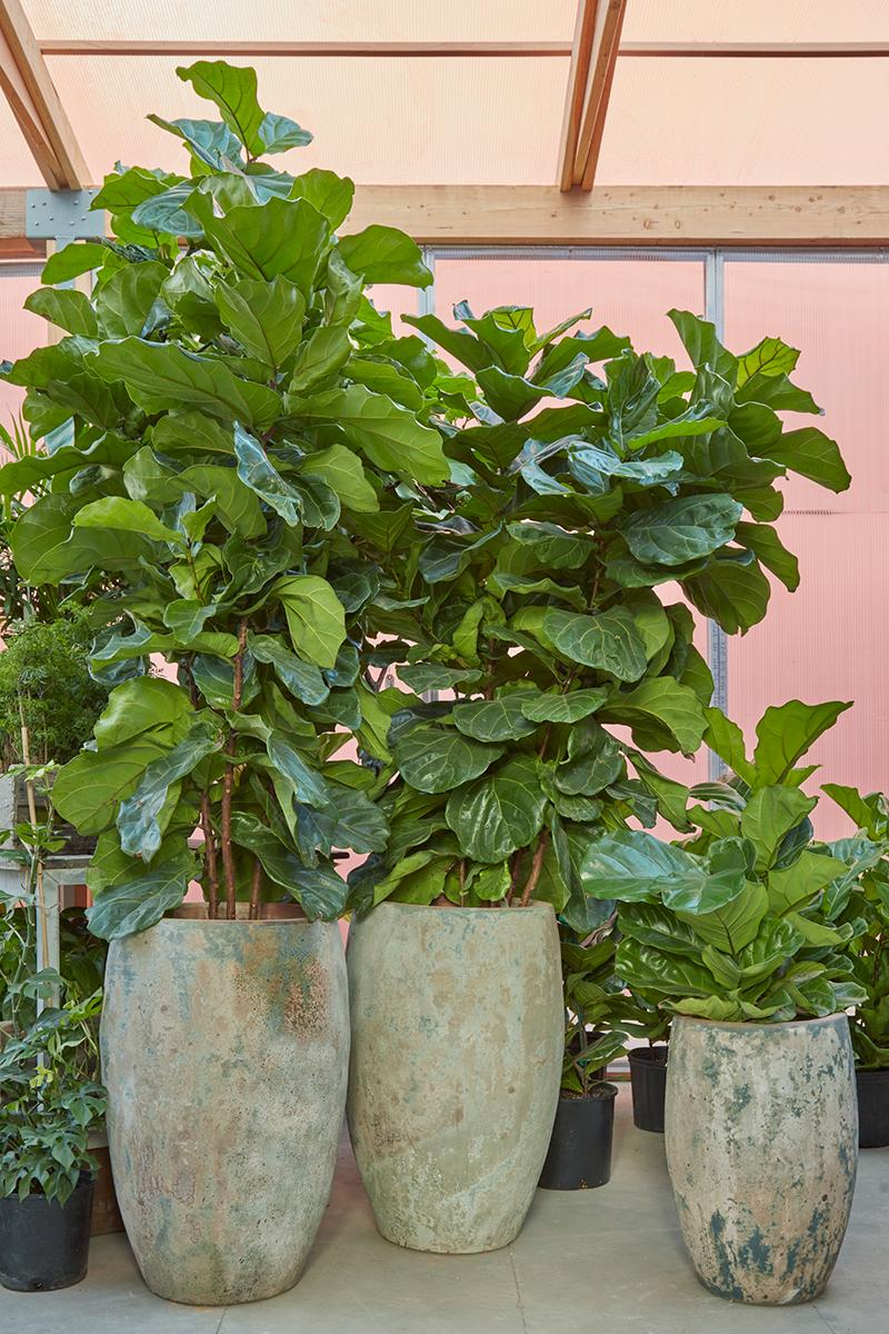 How to Care for Ficus Lyrata Fiddle Leaf Fig — FLORA GRUBB GARDENS