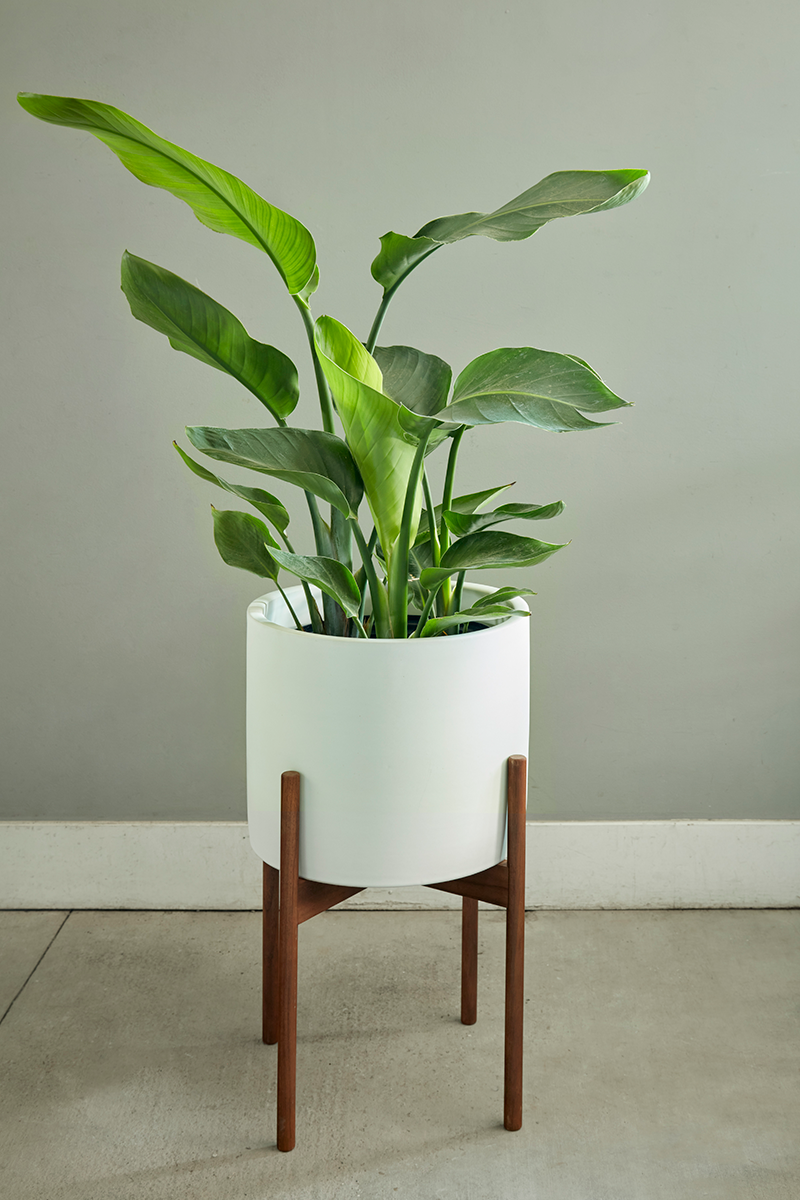 Growing The Giant Bird Of Paradise Banana Leaf Palm As A Houseplant Flora Grubb Gardens