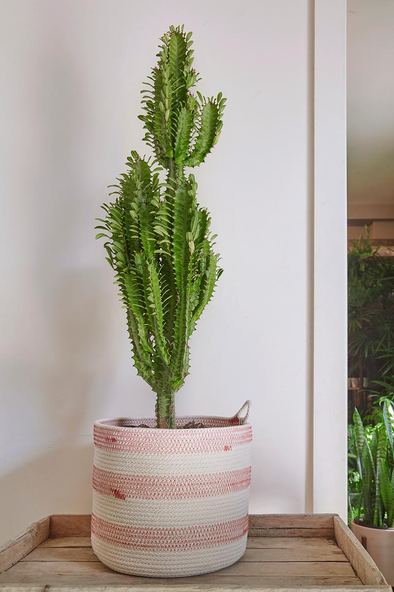 How To Grow Euphorbia As Houseplants Flora Grubb Gardens