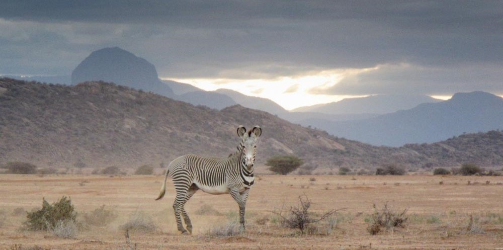 A stunning Grevy's zebra stands to attention in Laisamis, northern Kenya. Through the Great Grevy's Ball, we celebrate this iconic species.