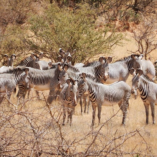 How many will there be? This is a photo taken from one of our Rally teams during the January event! It's hard enough to figure out how many are in this photo but do you have a guess on how many Grevy's we have left? Come join us at the Great Grevy's Ball on June 23rd to find out! #endangeredspecies