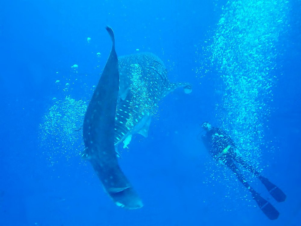 Alright,I was there for the diving as well. What a magnificent creature! The Whale Shark was moderately impressive too.