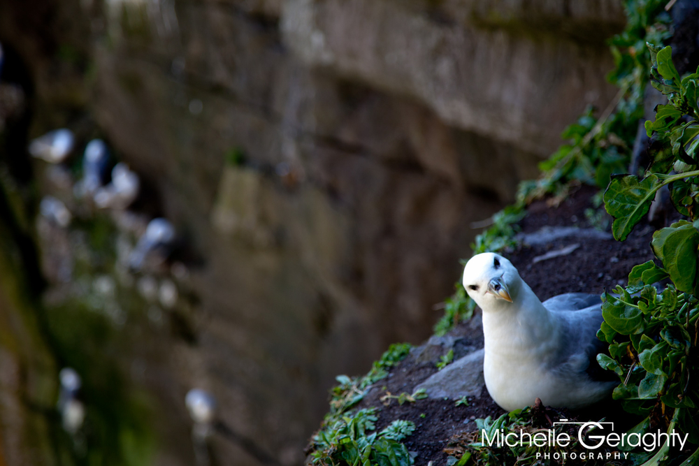 Birds of the Skellig Islands, Co. Kerry, Ireland