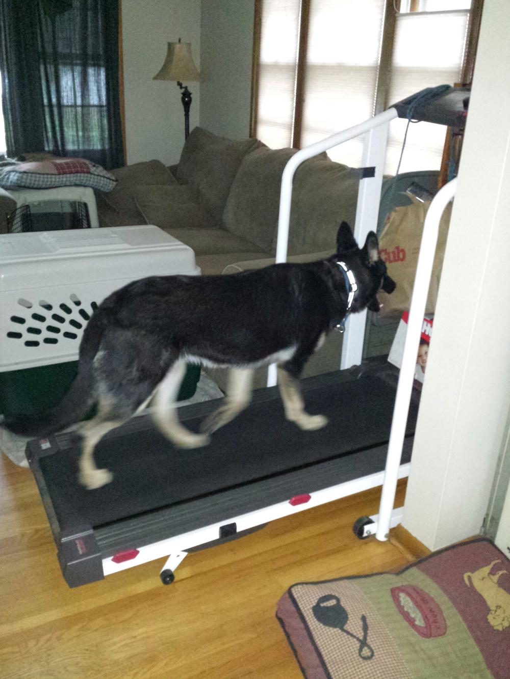 Dog training on tread mills