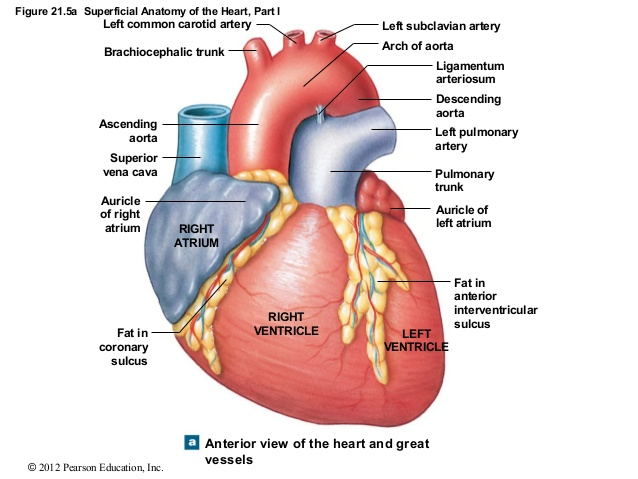 The heart empa anterior heartg ccuart Images