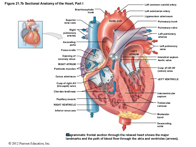 The heart empa cross section heartg ccuart Images
