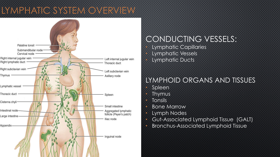 The Lymphatic System Empa