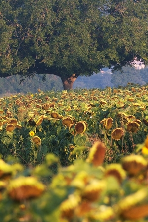 Sunflower fields @ Les Passeroses
