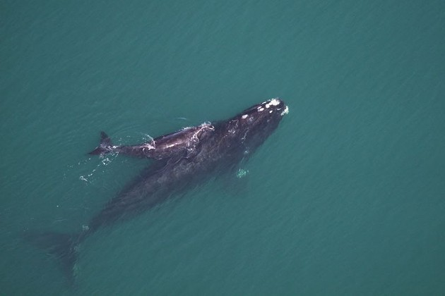N. Atlantic Right Whales off the coast of Georgia, photo courtesy of Georgia Department of Natural Resourses