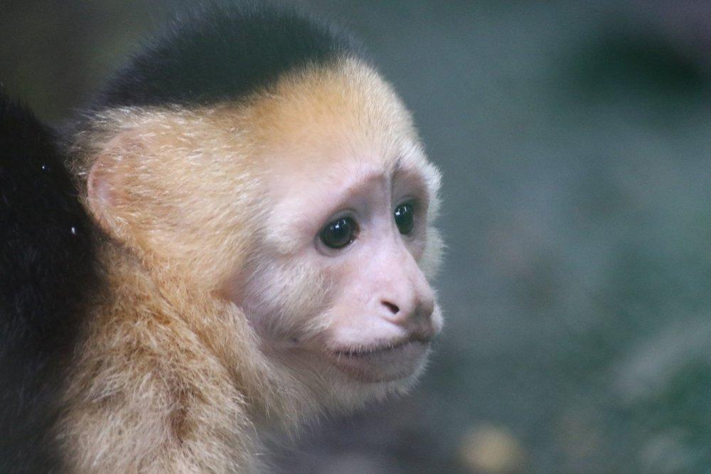 Cara Blanca Monkey.jpg