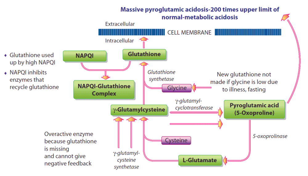 Figure 3b: Metabolism of GSH after exposure to high doses of acetaminophen.(Click for larger view)