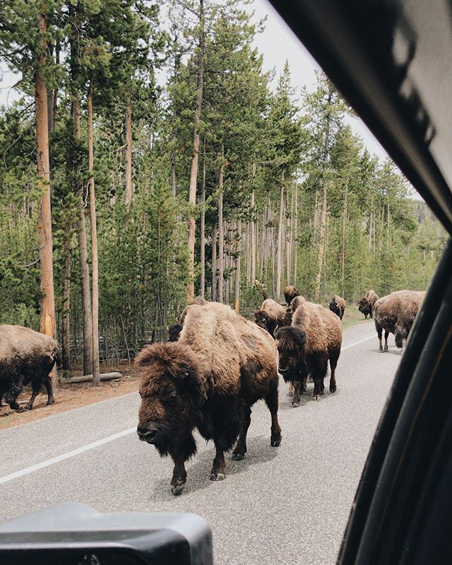 Only in Yellowstone do bison cause mile long traffic jams