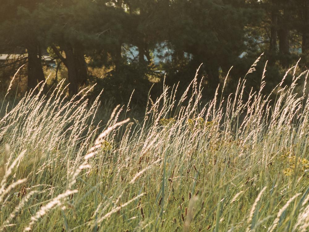 Haarkon Grass Sunset Coastal Dune Humberston
