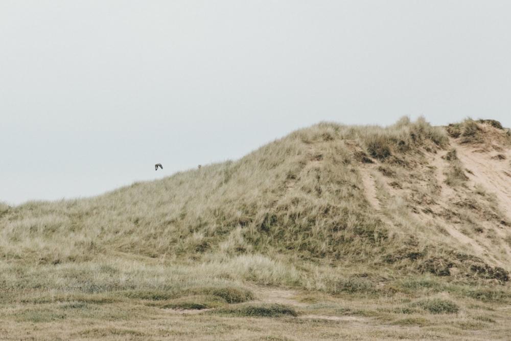 Haarkon Anglesey Bird Nature Sand Dune