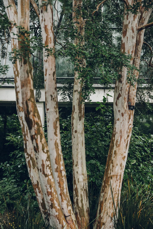 Haarkon Birch Eucalyptus Tree Bark Trunk