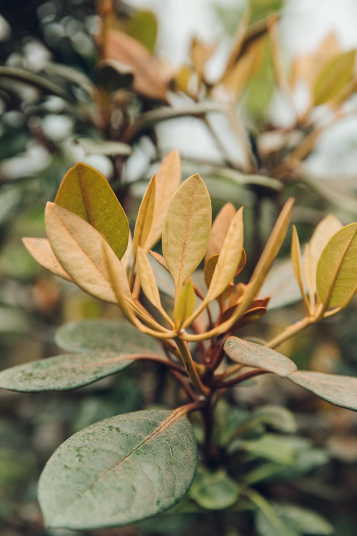 Haarkon Plants Garden Edinburgh Copper Leaf