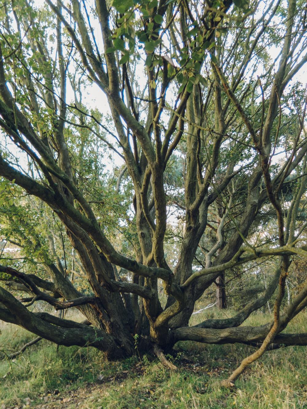 Haarkon Evening Norfolk Tree Coppice
