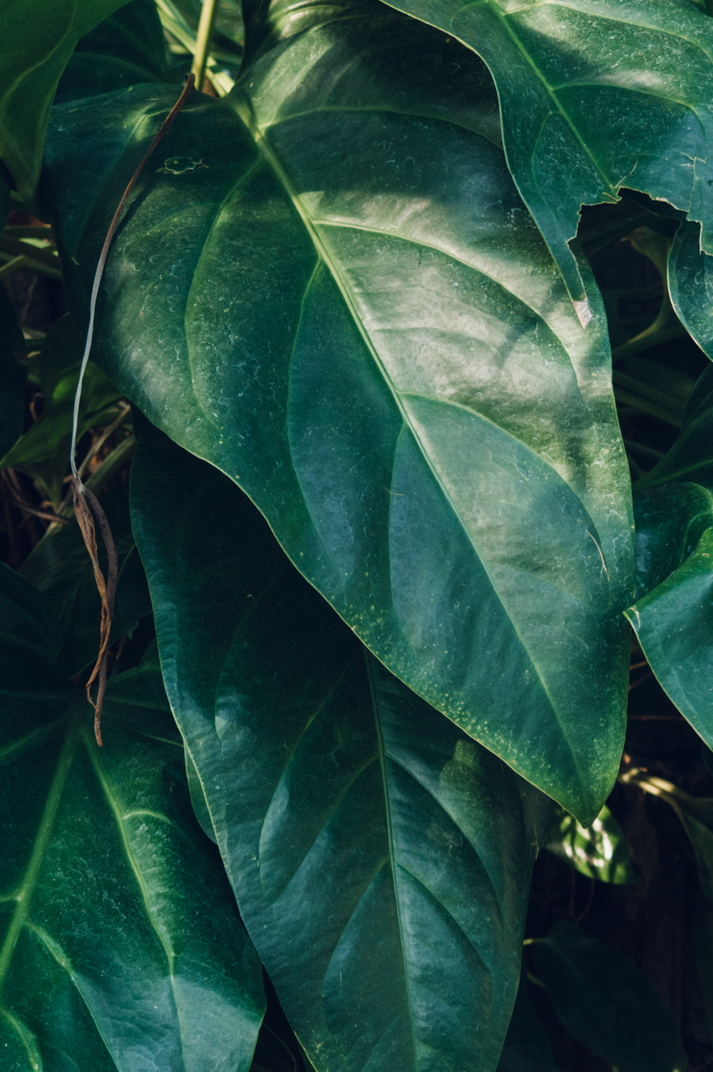 Leaf Leaves Fig Ficus Greenery Foliage Palm