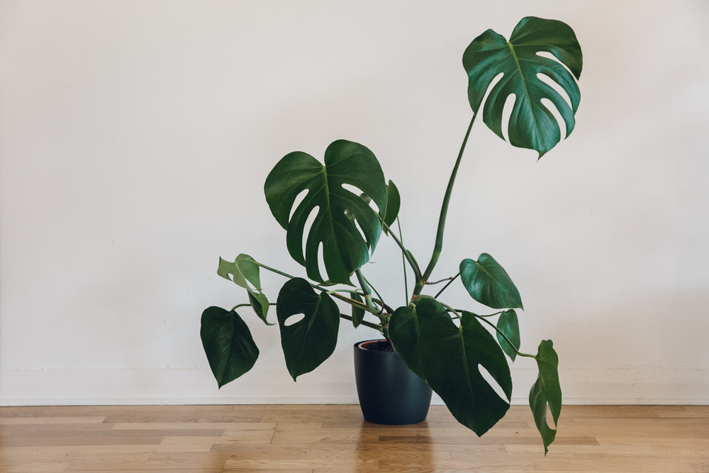 Haarkon Monstera Cheeseplant
