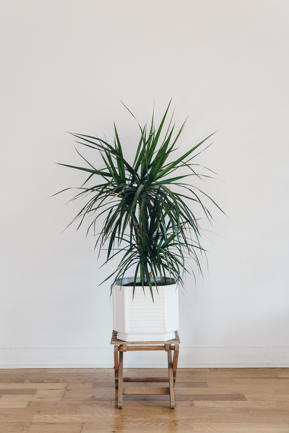 Haarkon Dracaena Dragon Tree Plant