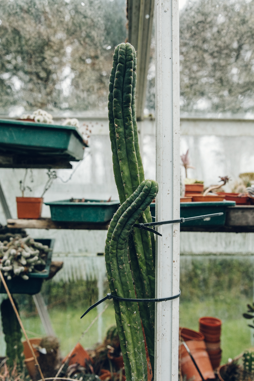 Haarkon Cacti Cactus Yorkshire Greenhouse Glasshouse plants garden BCSS