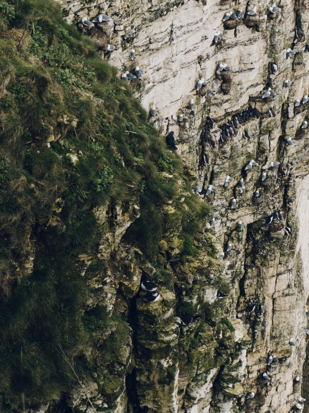 Haarkon RSPB Bird Bempton Cliff Puffins Yorkshire