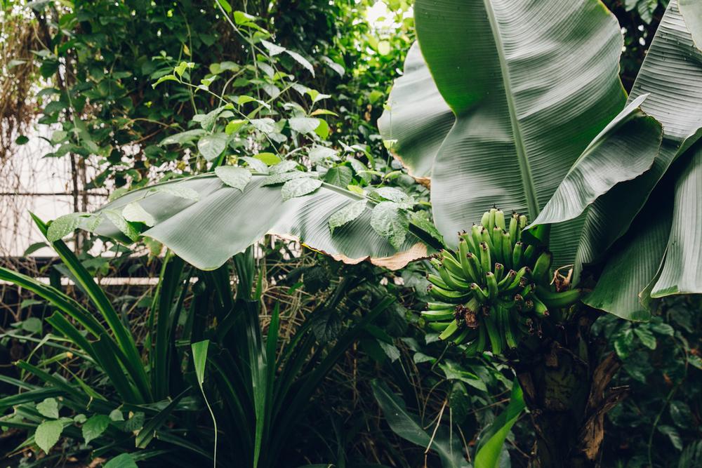 HAARKON Tropical Jungle Glasshouse Greenhouse Plants Garden banana leaf wild nature greenery foliage