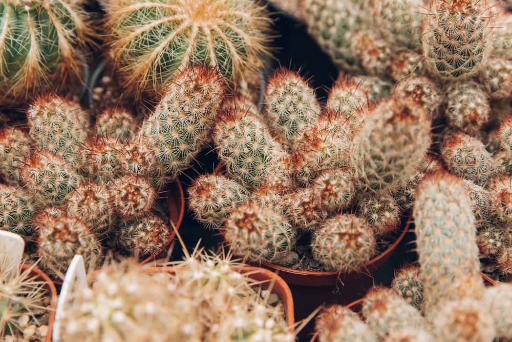 Haarkon Cactus Cacti Plants Houseplants Shop Nature Garden greenhouse glasshouse uk
