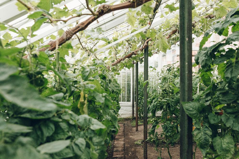 Greenhouse full of tomato plants