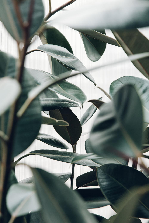 Rubber plant or Ficus elastica.