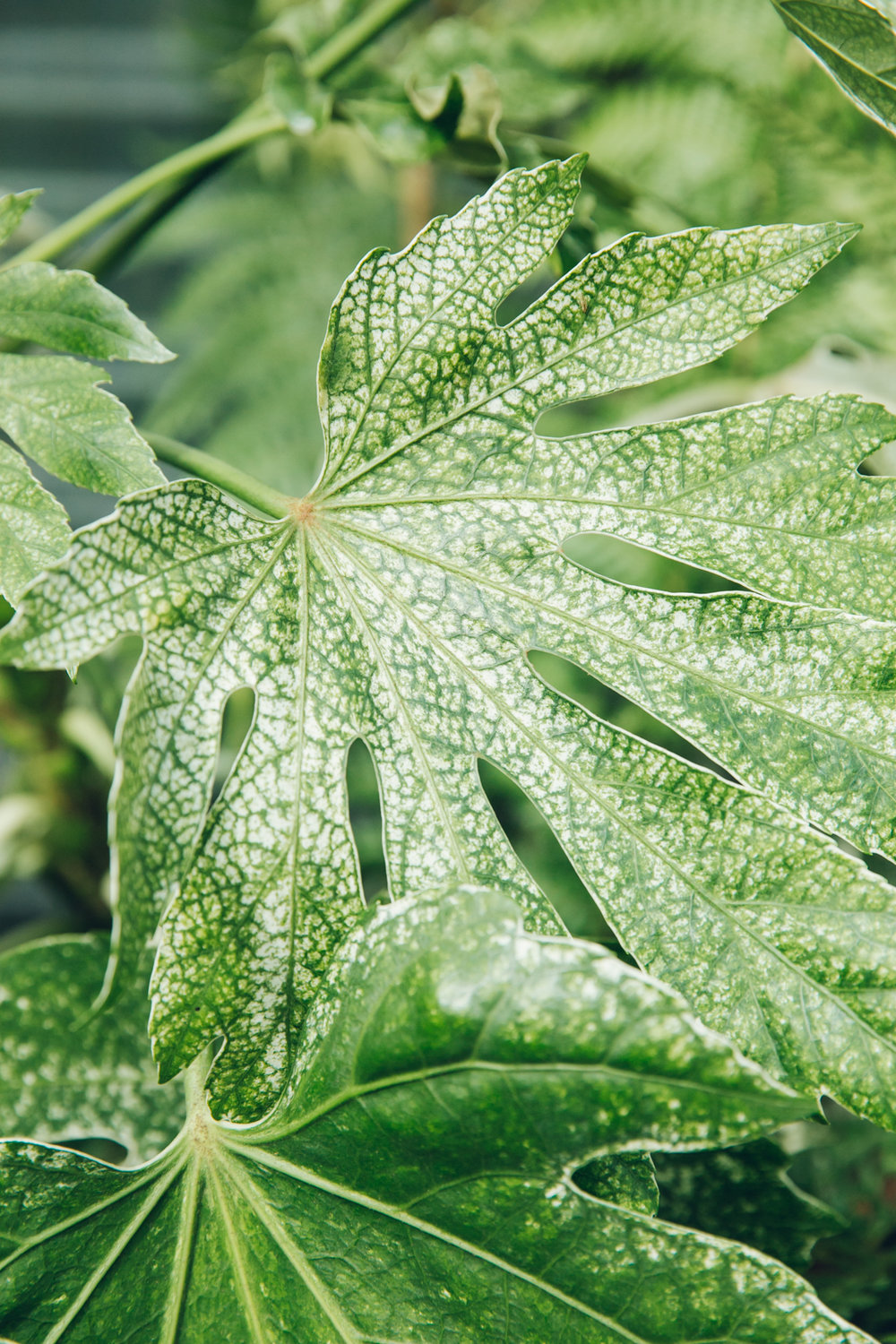 Variegated Fatsia Japonica leaves