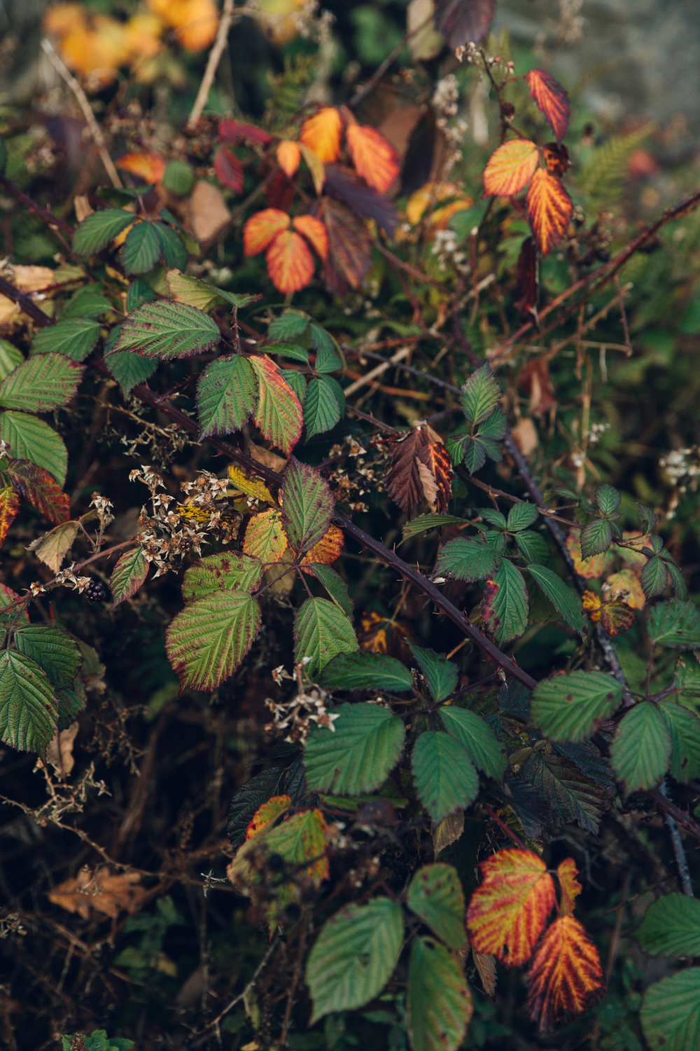 Autumn colours in the hedgerow.
