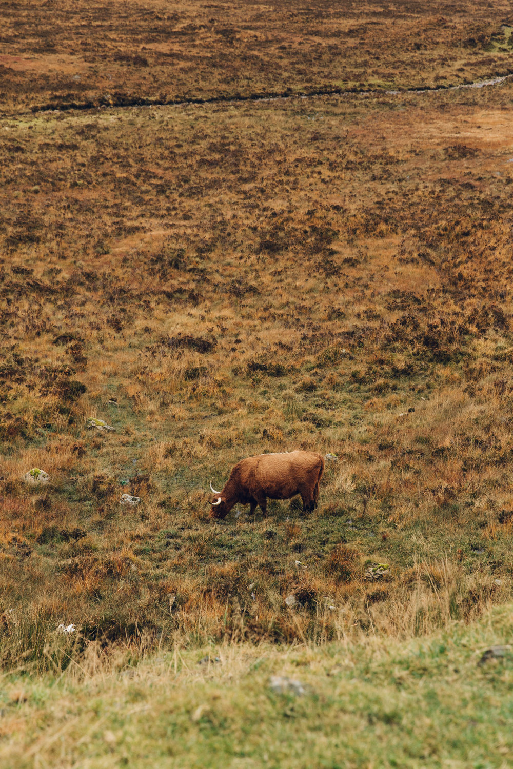 Highland cattle on the Isle of Skye.