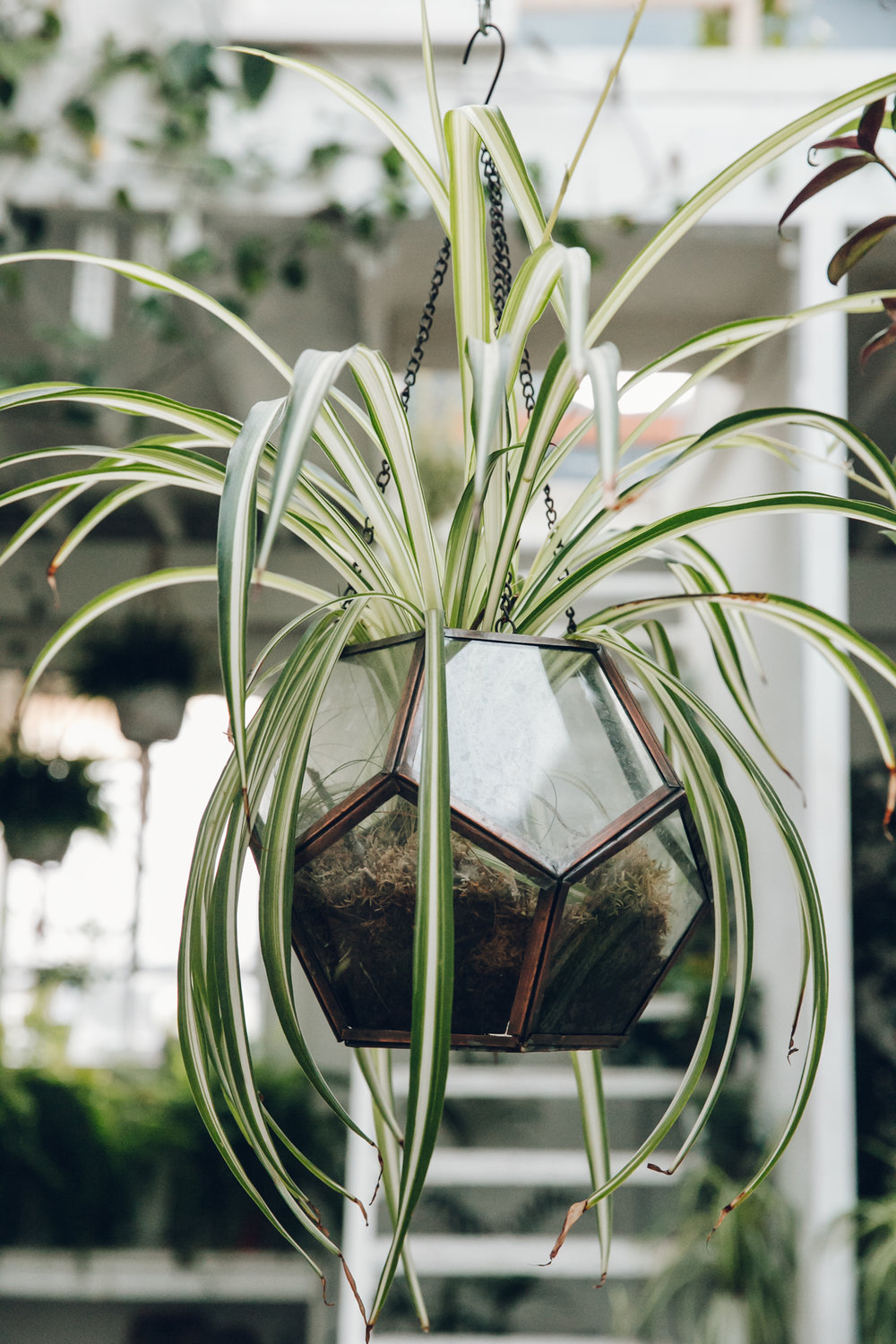 A spider plant in a hanging glass planter - at Clapton Tram in London.